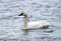 Tundra Swans & more